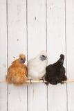 Polli di Silkies in pollaio Fotografia Stock Libera da Diritti