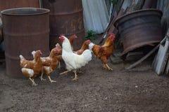 Polli e gallo nell'iarda del paese - azienda agricola agricola Immagine Stock
