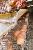 Polli ed uova Fotografie Stock Libere da Diritti