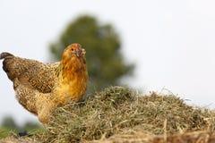 Polli gialli sul mucchio della composta Fotografie Stock Libere da Diritti