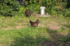 Polli in giardino immagine stock