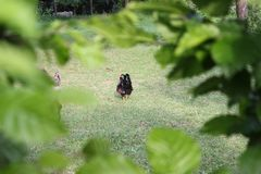 Polli in giardino fotografia stock libera da diritti