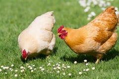 Polli liberi dell'intervallo fotografie stock libere da diritti