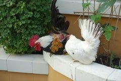 Polli, maschio e femmina Immagine Stock