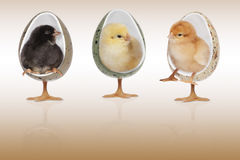Polli nel fondo marrone delle sedie immagini stock libere da diritti