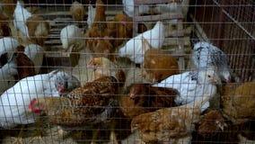 Polli nel pollaio stock footage