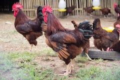 Polli nell'azienda agricola Fotografia Stock Libera da Diritti