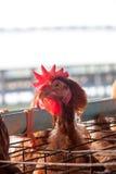 Polli nell'azienda agricola locale Immagini Stock