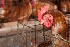 Polli nell'azienda agricola locale Immagine Stock Libera da Diritti