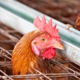 Polli nell'azienda agricola locale Fotografia Stock Libera da Diritti