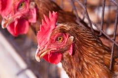 Polli nell'azienda agricola locale Immagine Stock