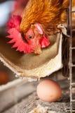 Polli nell'azienda agricola locale Fotografia Stock