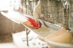 Polli nell'azienda agricola locale, Tailandia Fotografia Stock Libera da Diritti