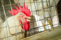 Polli nell'azienda agricola locale, Tailandia Fotografia Stock