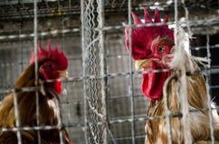 Polli nell'azienda agricola locale, Tailandia Immagini Stock Libere da Diritti