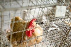 Polli nell'azienda agricola locale, Tailandia Fotografie Stock Libere da Diritti