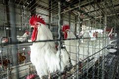 Polli nell'azienda agricola locale, Tailandia Fotografie Stock