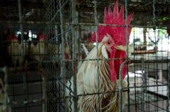 Polli nell'azienda agricola locale, Tailandia Immagine Stock