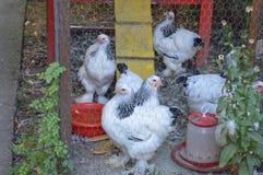 Polli nella gabbia Immagini Stock Libere da Diritti