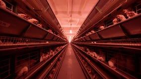 Polli nella gabbia sull'azienda agricola di pollo Il pollo eggs l'azienda agricola video d archivio