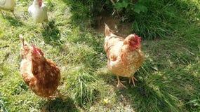 Polli rossi & bianchi in Germania Occidentale del sud fotografie stock