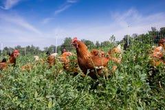 Polli rossi di collegamento del sesso immagini stock libere da diritti