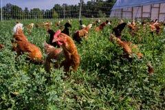 Polli rossi di collegamento del sesso immagini stock