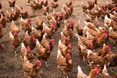 Polli ruspanti nel pascolo del cortile immagine stock libera da diritti