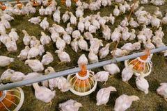 Polli su un'azienda agricola fotografia stock