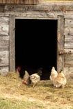 Polli su un'azienda agricola Immagini Stock Libere da Diritti