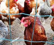 Polli su un'azienda agricola in natura Galline nell'azienda agricola della gamma Fotografia Stock