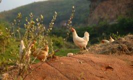 Polli sul cortile Fotografia Stock