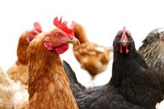 Polli sull'azienda agricola Immagini Stock Libere da Diritti