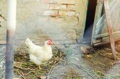 Polli sull'azienda agricola, coltivante, villaggio fotografia stock