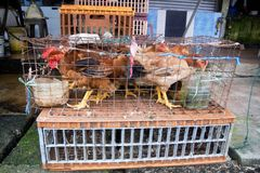 Polli in una gabbia Fotografie Stock