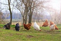 Polli variopinti su alimentazione naturale con punto caldo soleggiato Fotografie Stock Libere da Diritti