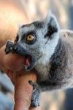 Pollice mordace del ` s dell'uomo delle lemure fotografie stock