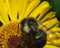 Pollin de la abeja de la miel Fotos de archivo