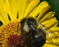 Pollin dell'ape del miele Fotografie Stock