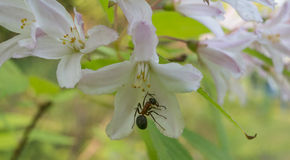 Pollinating ant Royalty Free Stock Photo