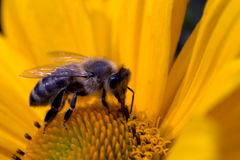 Pollinating bee Stock Image