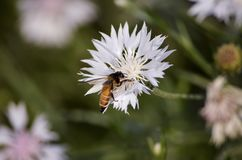 Pollinating bee on a close up white  isolated flower searching for food with shallow depth of field in a park royalty free stock image