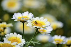 Pollinating bee on a close up white yellow isolated flower with shallow depth of field in a park royalty free stock image