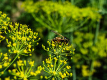 Pollinating. Bee on the flower Stock Images