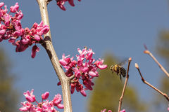 Pollinating bee hovering before a redbud bloom Royalty Free Stock Image