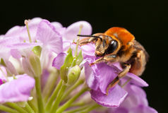 Pollinating bee Royalty Free Stock Photography