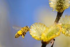 Pollinating bee Royalty Free Stock Photos