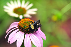 Pollinating Bumblebee Royalty Free Stock Photography