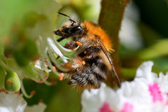 The pollinating bumblebee Stock Images