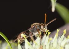 Pollinating cuckoo bee. Stock Photo